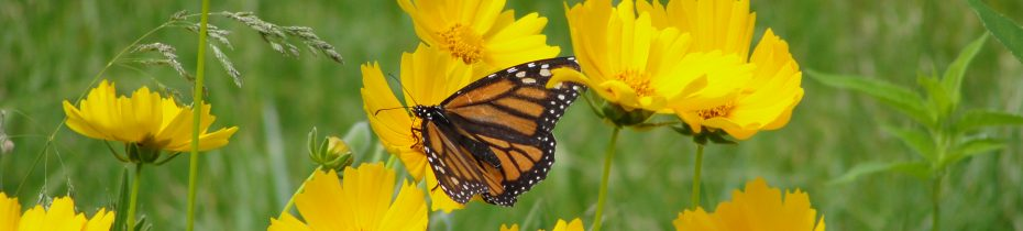 Monarch butterfly on lance-leaved coreopsis