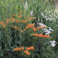 Another stunning arrangement in a raised bed. Butterfly Weed (Asclepias tuberosa) Culver's Root (Veronicastrum virginicum) are most prominent in this photo. - COD