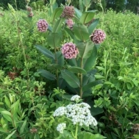 Another stunning combo, Wild Quinine and Purple Milkweed (Asclepias purpureum) - COD
