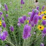 Purple Prairie Clover and Black-eyed Susan