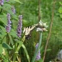 20200722 Eastern Tiger Swallowtail on Anise Hyssop in Roger and Wendy Vernon's yard