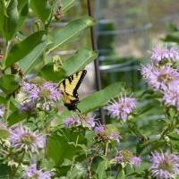 20200722 Eastern Tiger Swallowtail on Bee Balm in Roger and Wendy Vernon's yard