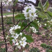 20200427 04 Serviceberry from Pat Clancy's yard 4/27/20