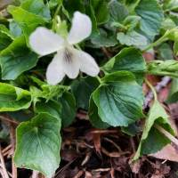 20200430 05 Striped White Violet from Pat Clancy's yard