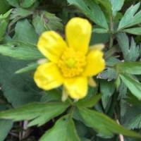 20200424 01 Swamp Buttercup from Pat Clancy's Yard