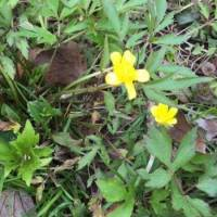 20200424 02 Swamp Buttercup from Pat Clancy's Yard