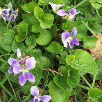 20200424 04 Violets from Pat Clancy's Yard