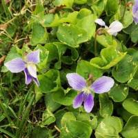20200424 08 Violets from Pat Clancy's Yard