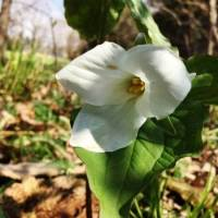 20200428 02 White Trillium from Pat Clancy's yard  4-28-20