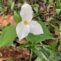 20200502 White Trillium from Pat Clancy's yard
