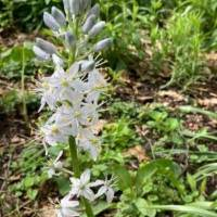 20200520 02 Wild Hyacinth from Pat Clancy's yard