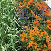 20200621 03 Butterfly Weed from Jeff and Bonnie Gahris' yard