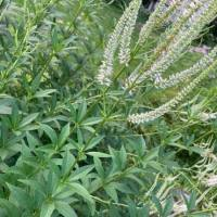 20200710 Culver's Root from Pat Clancy's yard 1