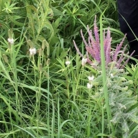A sweet combination, Amorpha canescens and Dalea candida or White Prairie Clover
